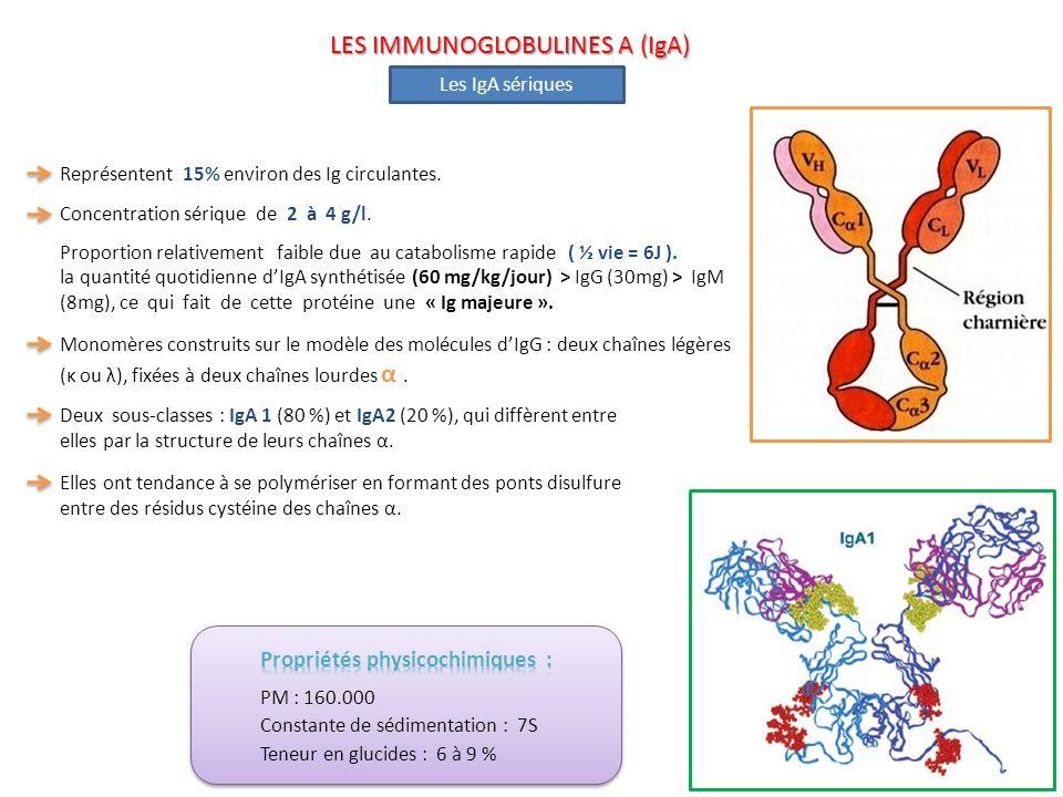 Les IgA sériques Monomères construits sur le modèle des molécules dIgG : deux chaînes légères (κ ou λ), fixées à deux chaînes lourdes α. Deux sous-cla