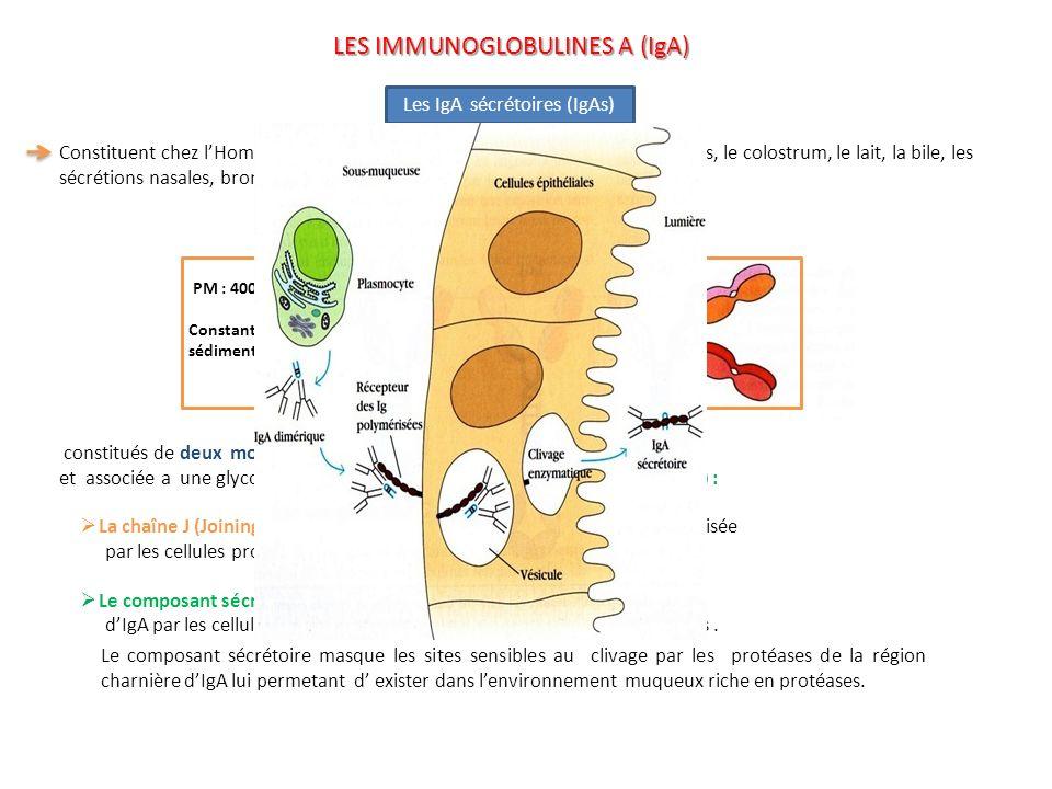 Constituent chez lHomme lessentiel des Ig présentes dans la salive, les larmes, le colostrum, le lait, la bile, les sécrétions nasales, bronchiques et