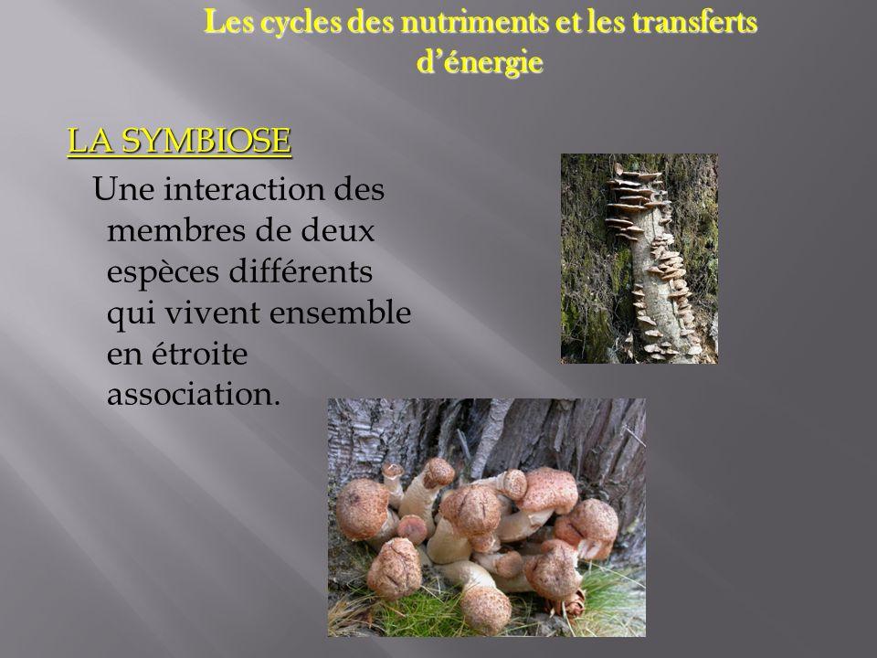 LA SYMBIOSE Une interaction des membres de deux espèces différents qui vivent ensemble en étroite association. Les cycles des nutriments et les transf