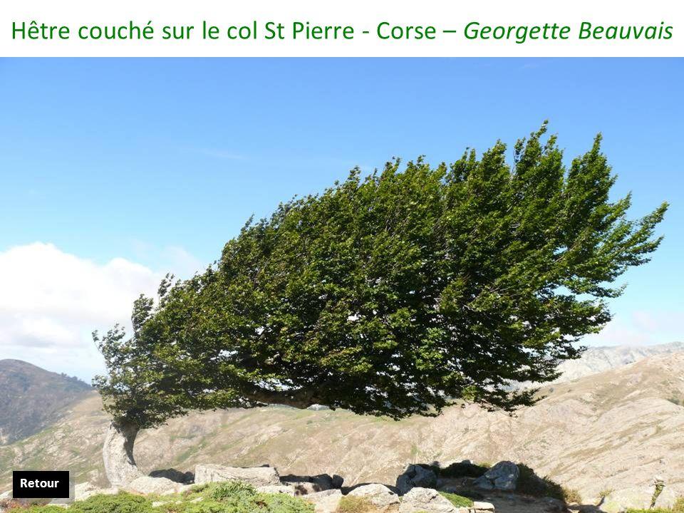 Hêtre couché sur le col St Pierre - Corse – Georgette Beauvais Retour