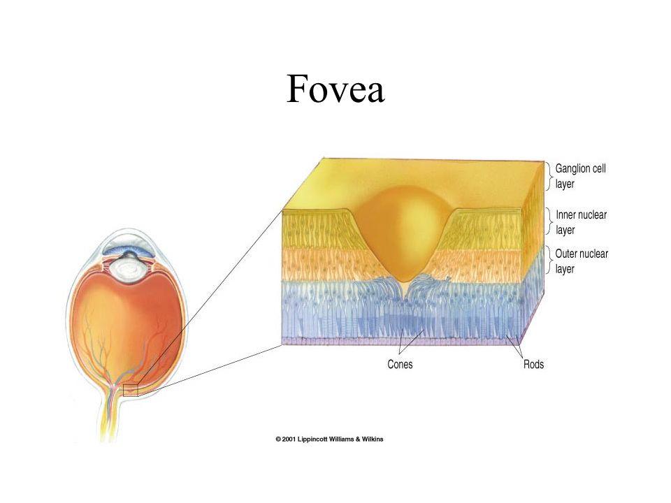 Fovea