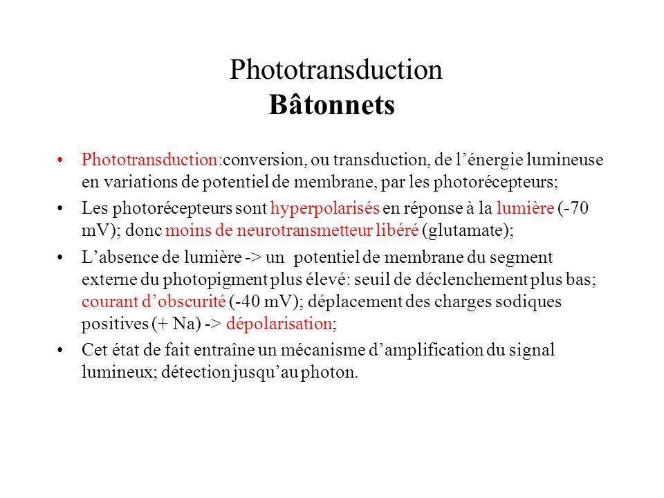 Phototransduction Bâtonnets Phototransduction:conversion, ou transduction, de lénergie lumineuse en variations de potentiel de membrane, par les photo