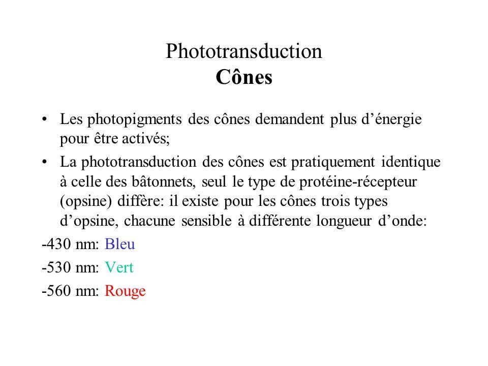 Phototransduction Cônes Les photopigments des cônes demandent plus dénergie pour être activés; La phototransduction des cônes est pratiquement identiq