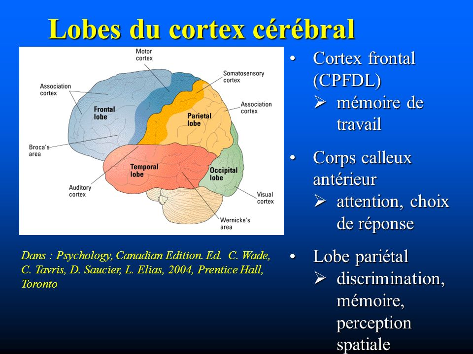 Lobes du cortex cérébral Dans : Psychology, Canadian Edition. Ed. C. Wade, C. Tavris, D. Saucier, L. Elias, 2004, Prentice Hall, Toronto Cortex fronta