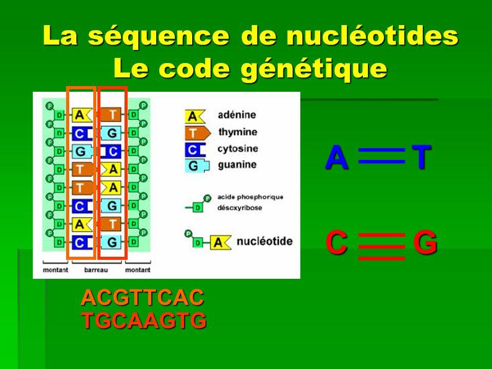 La séquence de nucléotides Le code génétique ACGTTCAC A T C G TGCAAGTG