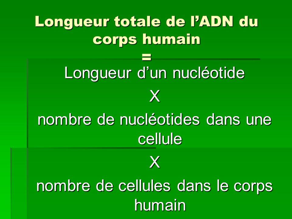 Longueur totale de lADN du corps humain = Longueur dun nucléotide X nombre de nucléotides dans une cellule X nombre de cellules dans le corps humain
