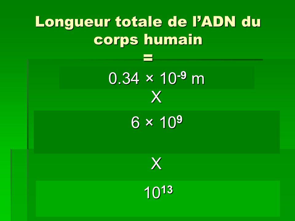 Longueur totale de lADN du corps humain = Longueur dun nucléotide X nombre de nucléotides dans une cellule X nombre de cellules dans le corps humain 0
