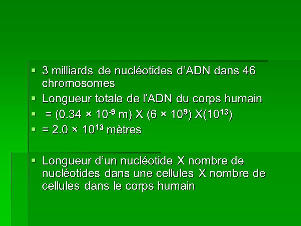 3 milliards de nucléotides dADN dans 46 chromosomes 3 milliards de nucléotides dADN dans 46 chromosomes Longueur totale de lADN du corps humain Longue