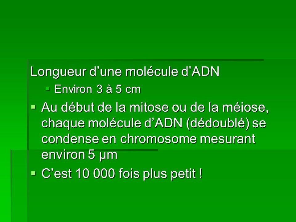Longueur dune molécule dADN Environ 3 à 5 cm Environ 3 à 5 cm Au début de la mitose ou de la méiose, chaque molécule dADN (dédoublé) se condense en ch