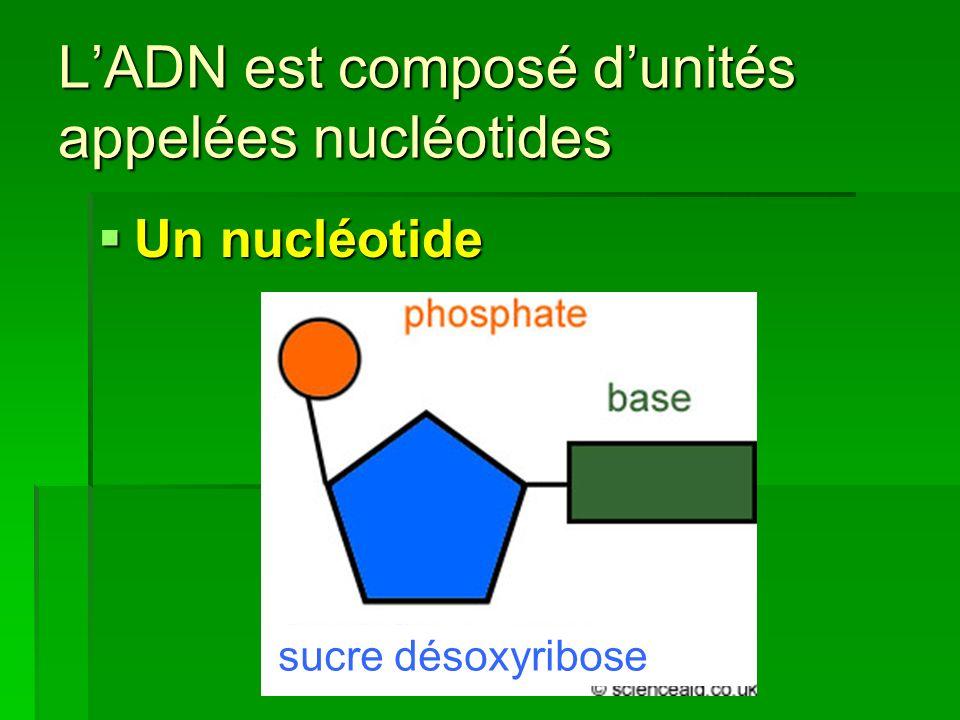 LADN est composé dunités appelées nucléotides Un nucléotide Un nucléotide sucre désoxyribose