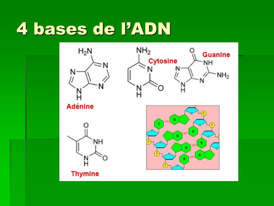 4 bases de lADN Adénine Cytosine Guanine Thymine