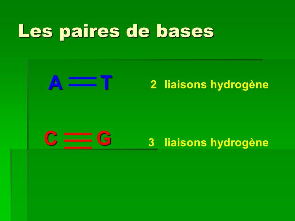 Les paires de bases A T C G liaisons hydrogène 2 3