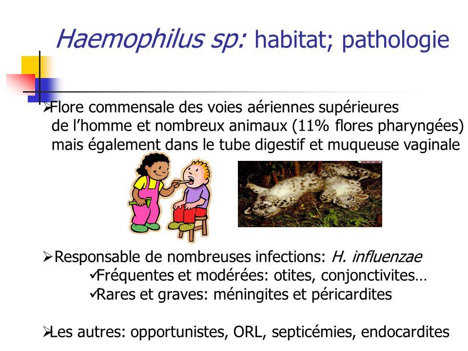 Haemophilus sp: habitat; pathologie Flore commensale des voies aériennes supérieures de lhomme et nombreux animaux (11% flores pharyngées) mais égalem
