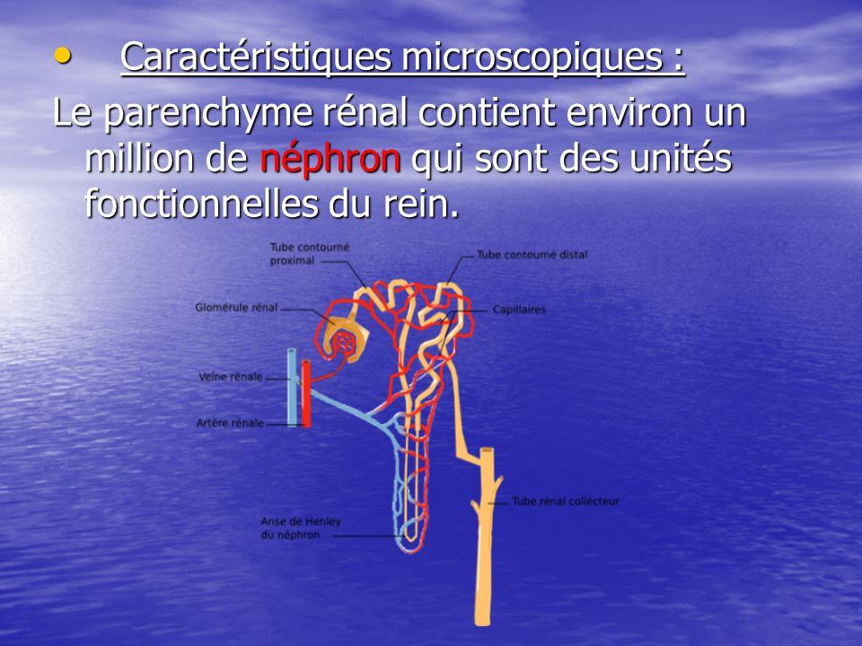 Caractéristiques microscopiques : Caractéristiques microscopiques : Le parenchyme rénal contient environ un million de néphron qui sont des unités fon