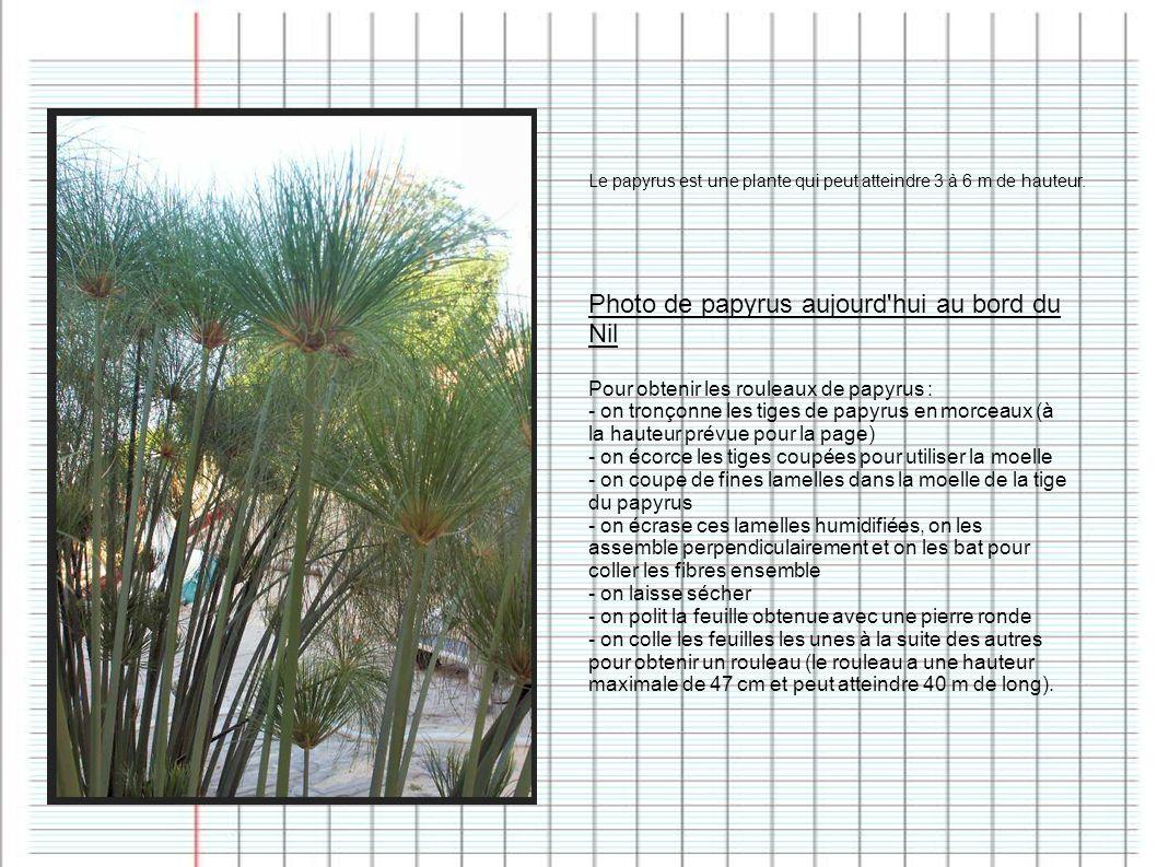 Photo de papyrus aujourd'hui au bord du Nil Pour obtenir les rouleaux de papyrus : - on tronçonne les tiges de papyrus en morceaux (à la hauteur prévu