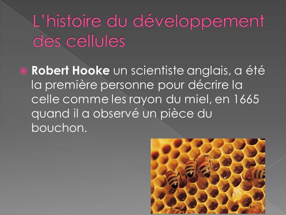 Robert Hooke un scientiste anglais, a été la première personne pour décrire la celle comme les rayon du miel, en 1665 quand il a observé un pièce du b