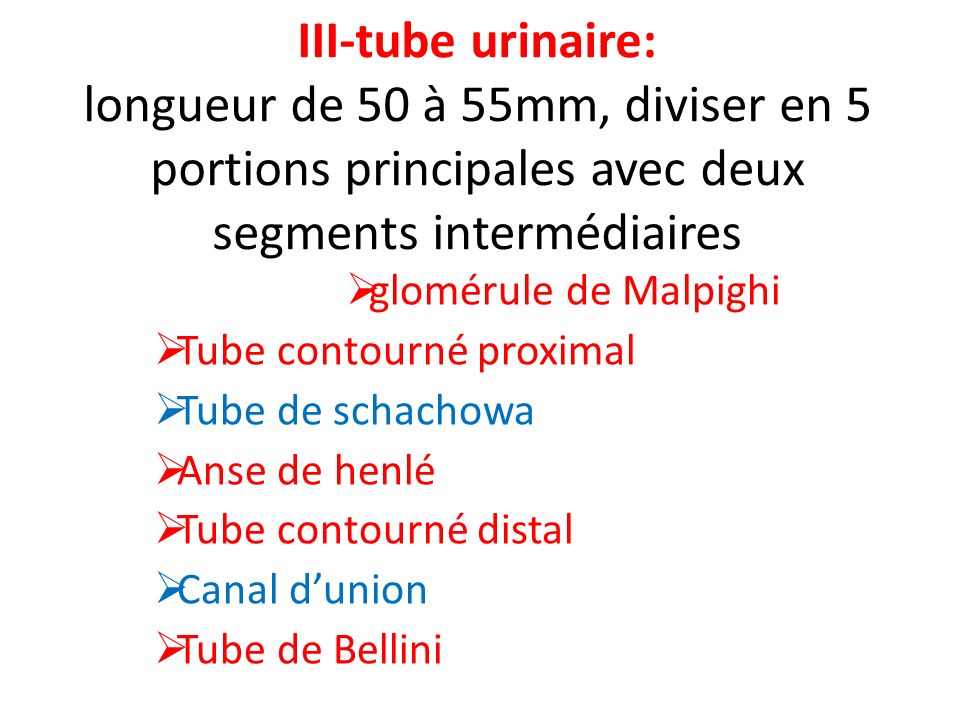 III-tube urinaire: longueur de 50 à 55mm, diviser en 5 portions principales avec deux segments intermédiaires glomérule de Malpighi Tube contourné pro