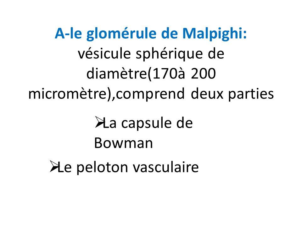 A-le glomérule de Malpighi: vésicule sphérique de diamètre(170à 200 micromètre),comprend deux parties La capsule de Bowman Le peloton vasculaire