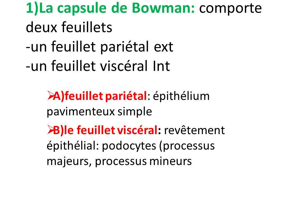 1)La capsule de Bowman: comporte deux feuillets -un feuillet pariétal ext -un feuillet viscéral Int A)feuillet pariétal: épithélium pavimenteux simple
