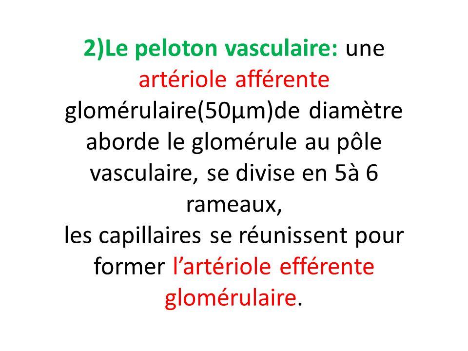 2)Le peloton vasculaire: une artériole afférente glomérulaire(50µm)de diamètre aborde le glomérule au pôle vasculaire, se divise en 5à 6 rameaux, les