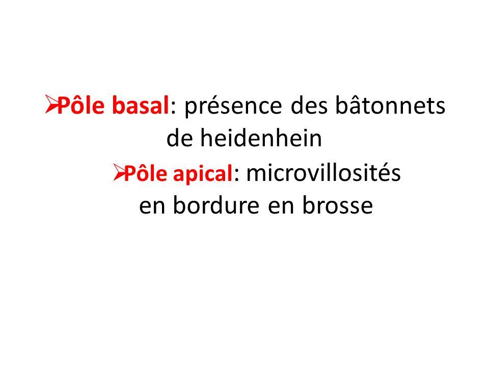 Pôle basal: présence des bâtonnets de heidenhein Pôle apical : microvillosités en bordure en brosse