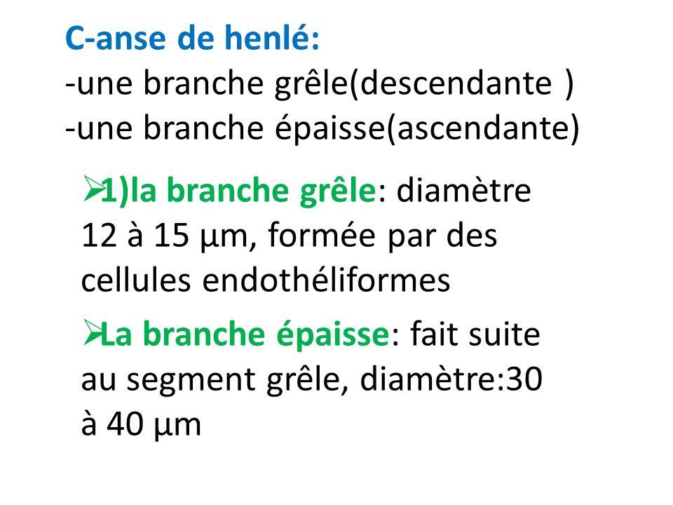 C-anse de henlé: -une branche grêle(descendante ) -une branche épaisse(ascendante) 1)la branche grêle: diamètre 12 à 15 µm, formée par des cellules en