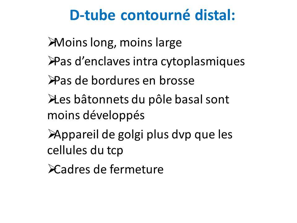 D-tube contourné distal: Moins long, moins large Pas denclaves intra cytoplasmiques Pas de bordures en brosse Les bâtonnets du pôle basal sont moins d
