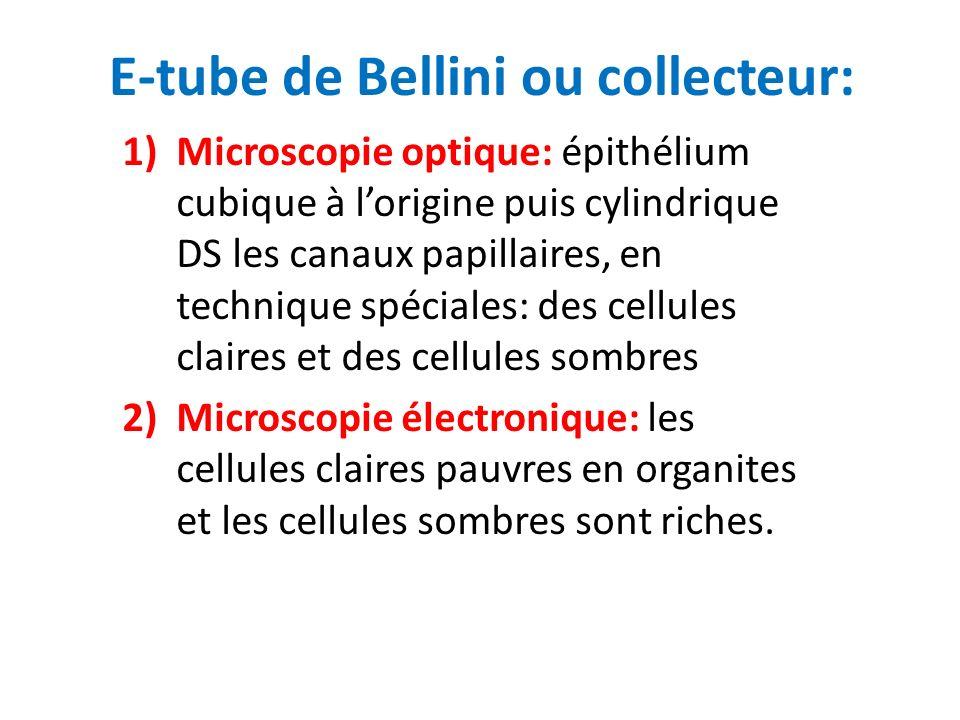 E-tube de Bellini ou collecteur: 1)Microscopie optique: épithélium cubique à lorigine puis cylindrique DS les canaux papillaires, en technique spécial