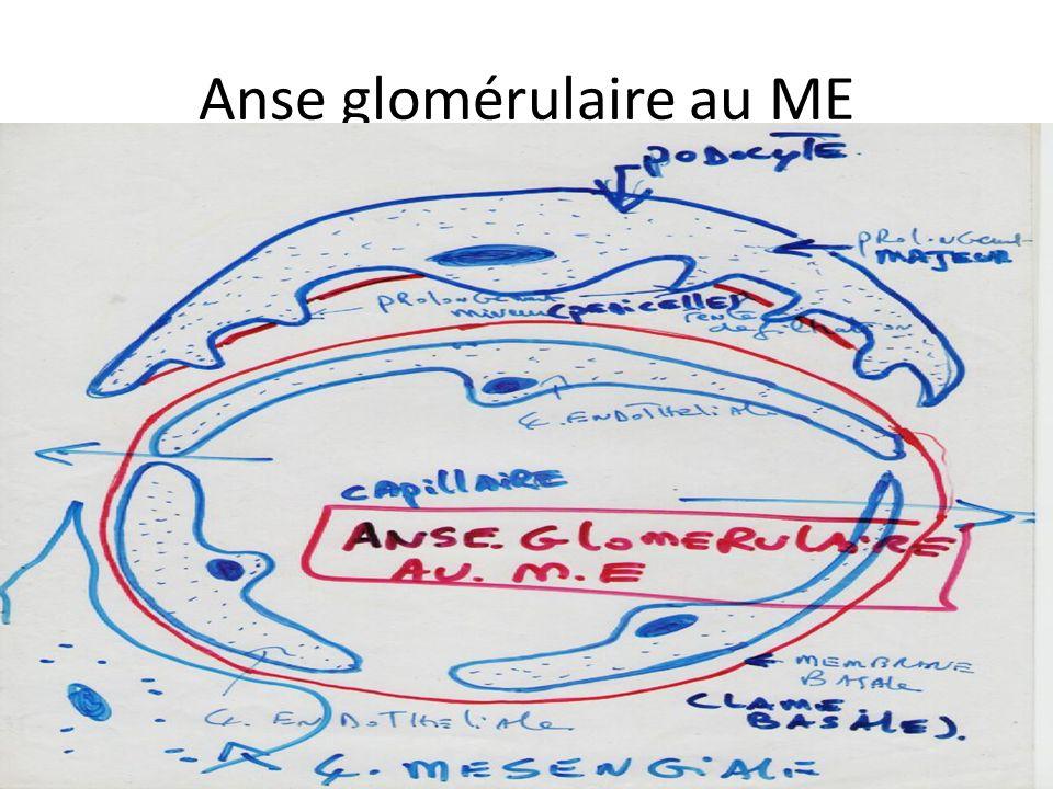 Anse glomérulaire au ME