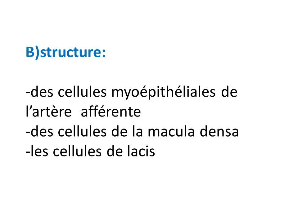 B)structure: -des cellules myoépithéliales de lartère afférente -des cellules de la macula densa -les cellules de lacis