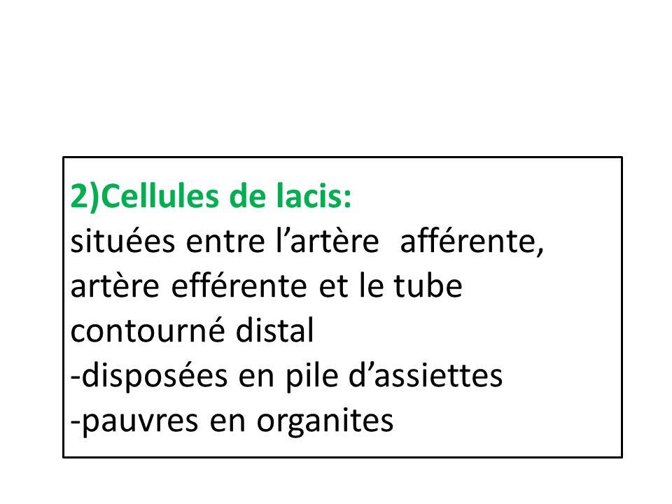2)Cellules de lacis: situées entre lartère afférente, artère efférente et le tube contourné distal -disposées en pile dassiettes -pauvres en organites