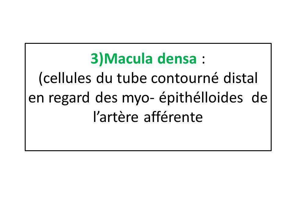 3)Macula densa : (cellules du tube contourné distal en regard des myo- épithélloides de lartère afférente