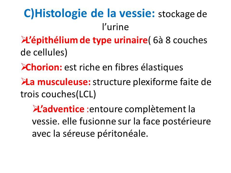 C)Histologie de la vessie: stockage de lurine Lépithélium de type urinaire( 6à 8 couches de cellules) Chorion: est riche en fibres élastiques La muscu