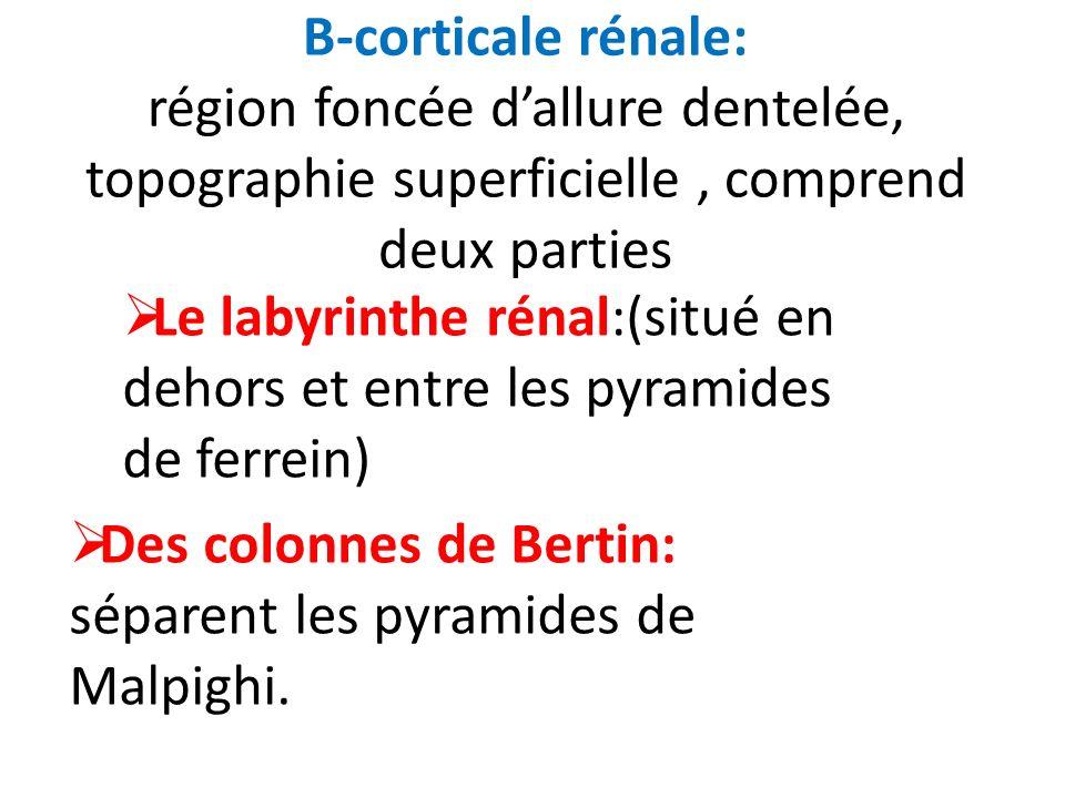 B-corticale rénale: région foncée dallure dentelée, topographie superficielle, comprend deux parties Le labyrinthe rénal:(situé en dehors et entre les