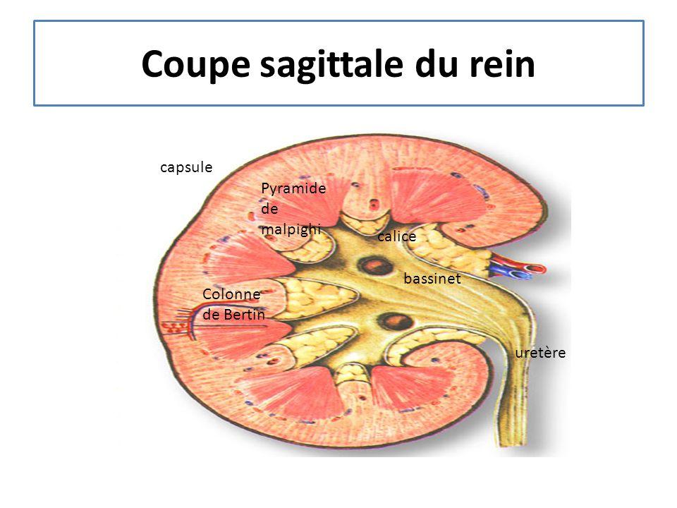 Macula densa Artère afférente Artère efférente Cellules de lacis Appareil juxta glomérulaire
