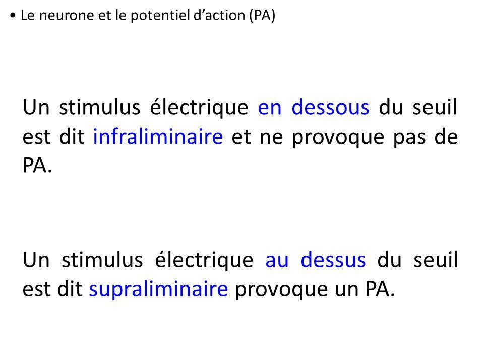 Le neurone et le potentiel daction (PA) Un stimulus électrique en dessous du seuil est dit infraliminaire et ne provoque pas de PA. Un stimulus électr