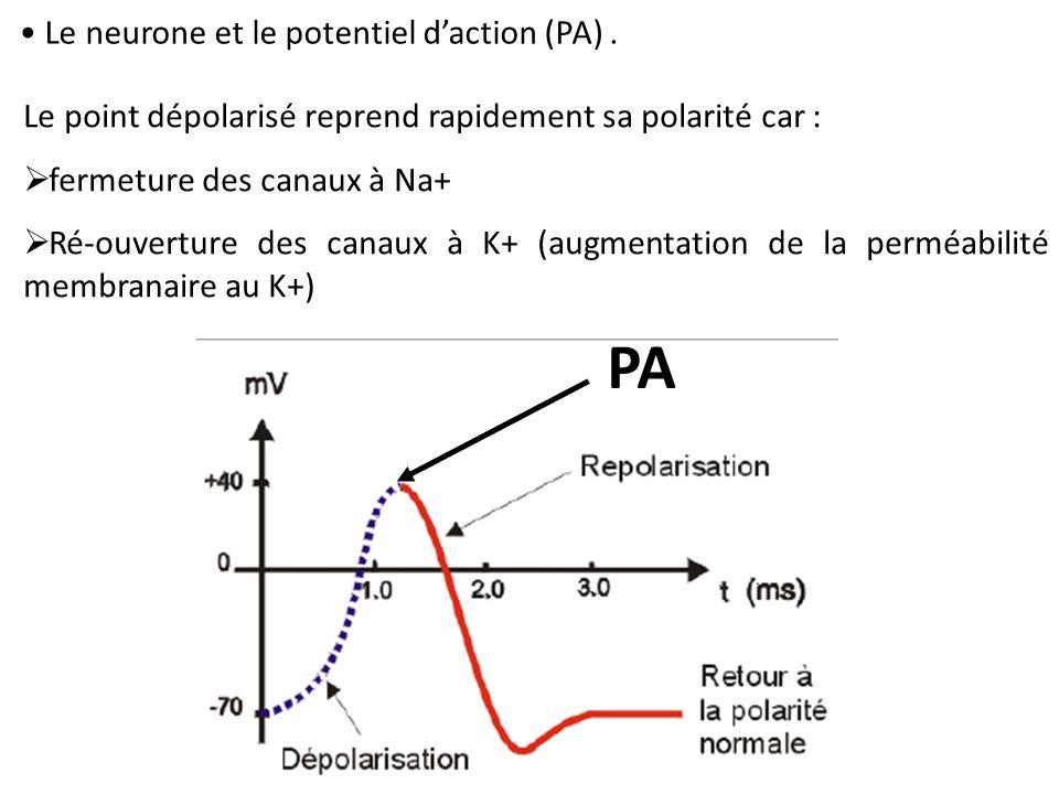 Le neurone et le potentiel daction (PA). Le point dépolarisé reprend rapidement sa polarité car : fermeture des canaux à Na+ Ré-ouverture des canaux à