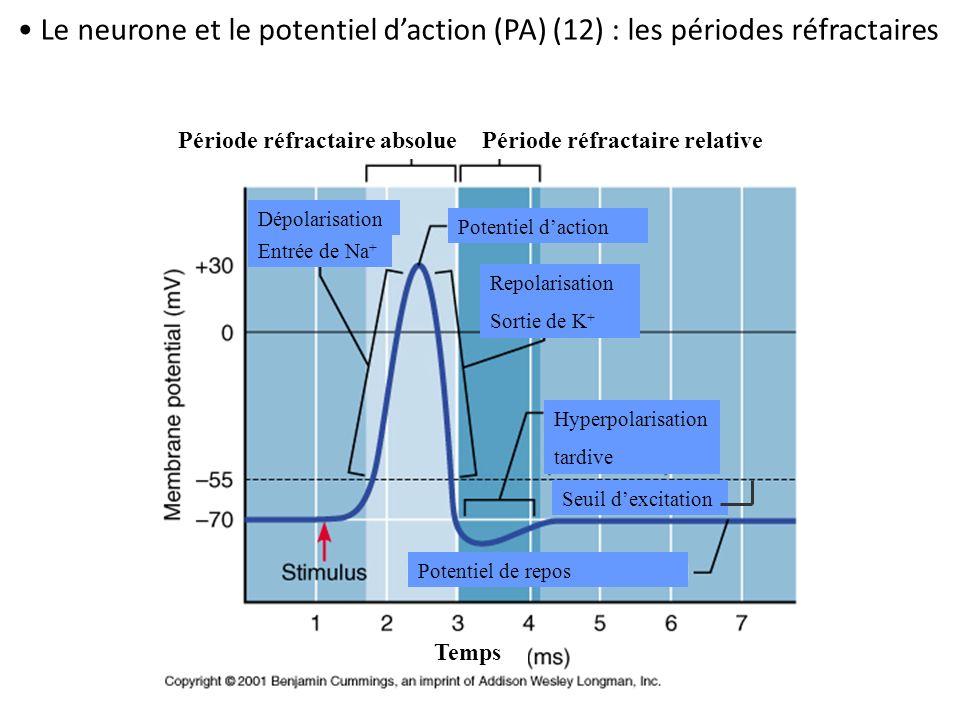 Dépolarisation Entrée de Na + Période réfractaire absoluePériode réfractaire relative Potentiel de repos Seuil dexcitation Hyperpolarisation tardive R
