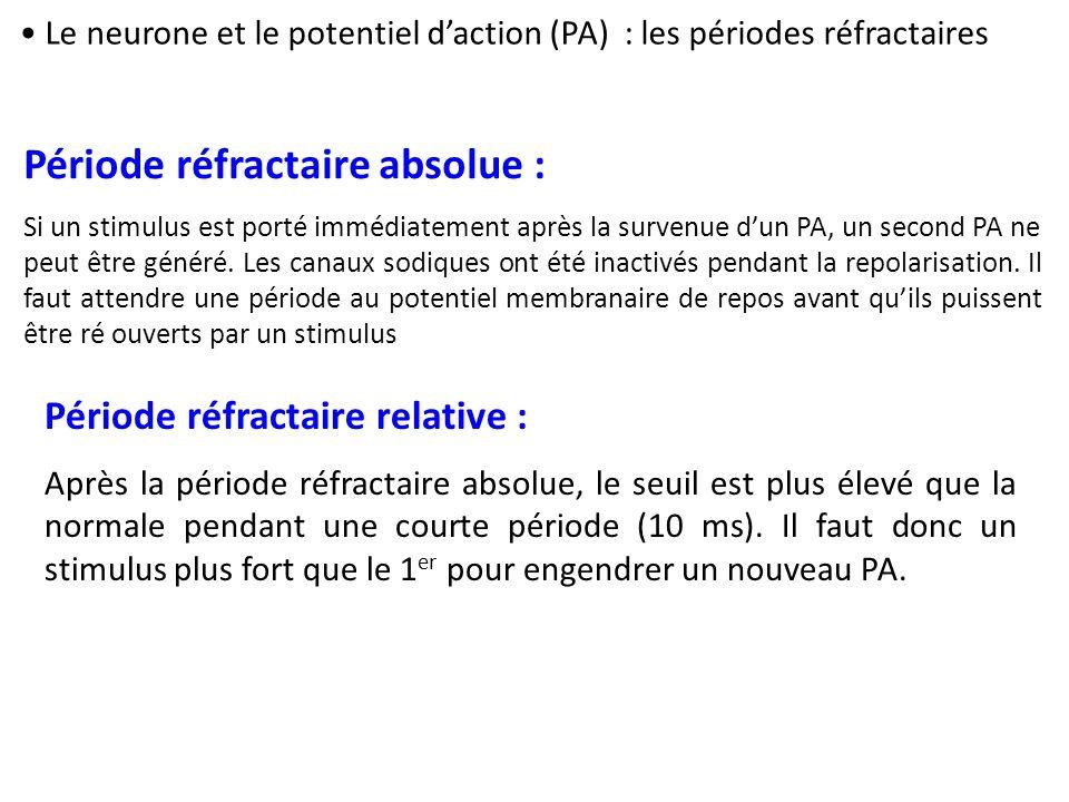Période réfractaire absolue : Si un stimulus est porté immédiatement après la survenue dun PA, un second PA ne peut être généré. Les canaux sodiques o