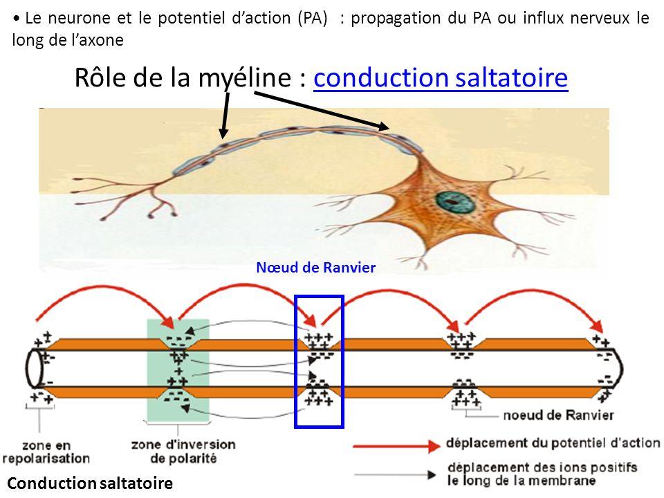 Le neurone et le potentiel daction (PA) : propagation du PA ou influx nerveux le long de laxone Rôle de la myéline : conduction saltatoire Nœud de Ran
