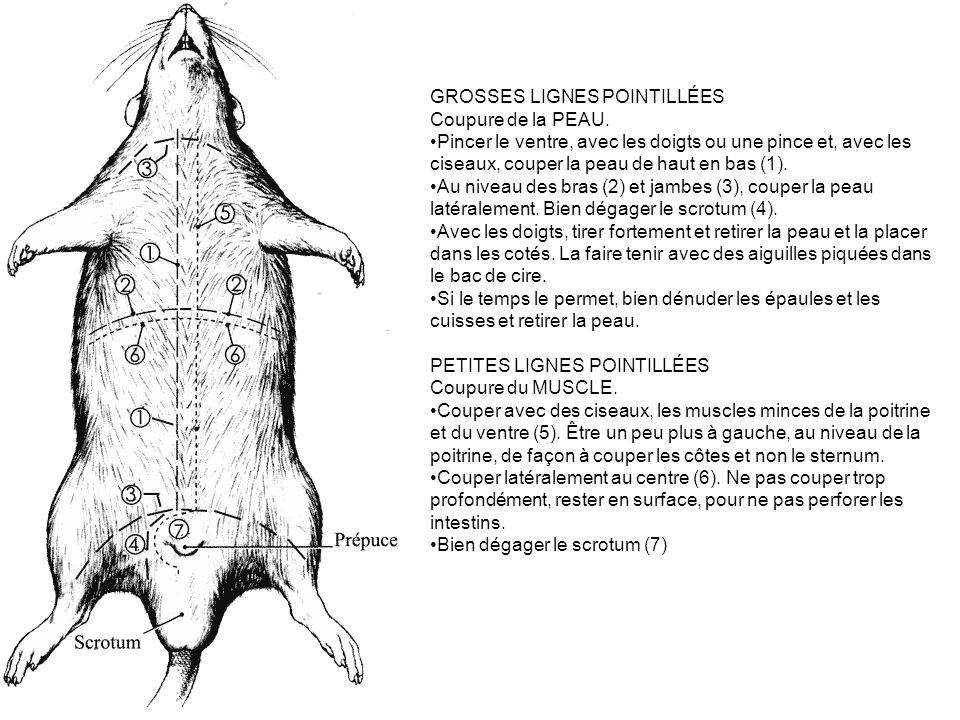 GROSSES LIGNES POINTILLÉES Coupure de la PEAU. Pincer le ventre, avec les doigts ou une pince et, avec les ciseaux, couper la peau de haut en bas (1).