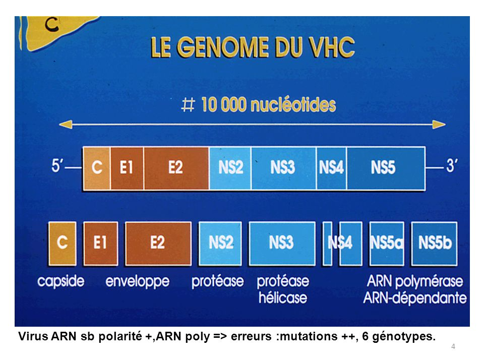 4 Virus ARN sb polarité +,ARN poly => erreurs :mutations ++, 6 génotypes.