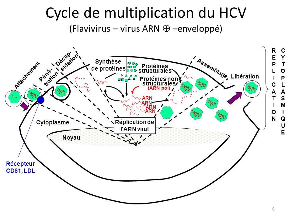 6 Cycle de multiplication du HCV (Flavivirus – virus ARN –enveloppé) Cytoplasme Protéines structurales Protéines non structurales (ARN pol) Synthèse d