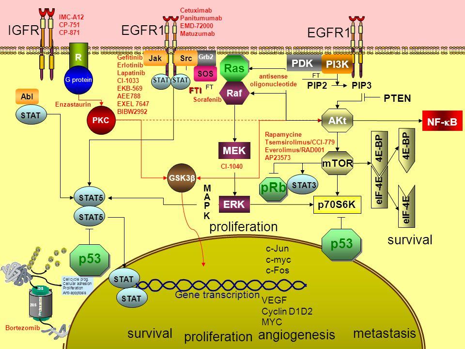 EGFR1IGFR IMC-A12 CP-751 CP-871 EGFR1 Ub Cellcycleprog. Cellularadhesion Proliferation Anti-apoptosis Proteasome 20S 19S Bortezomib p21 p27 p53 I?B NF