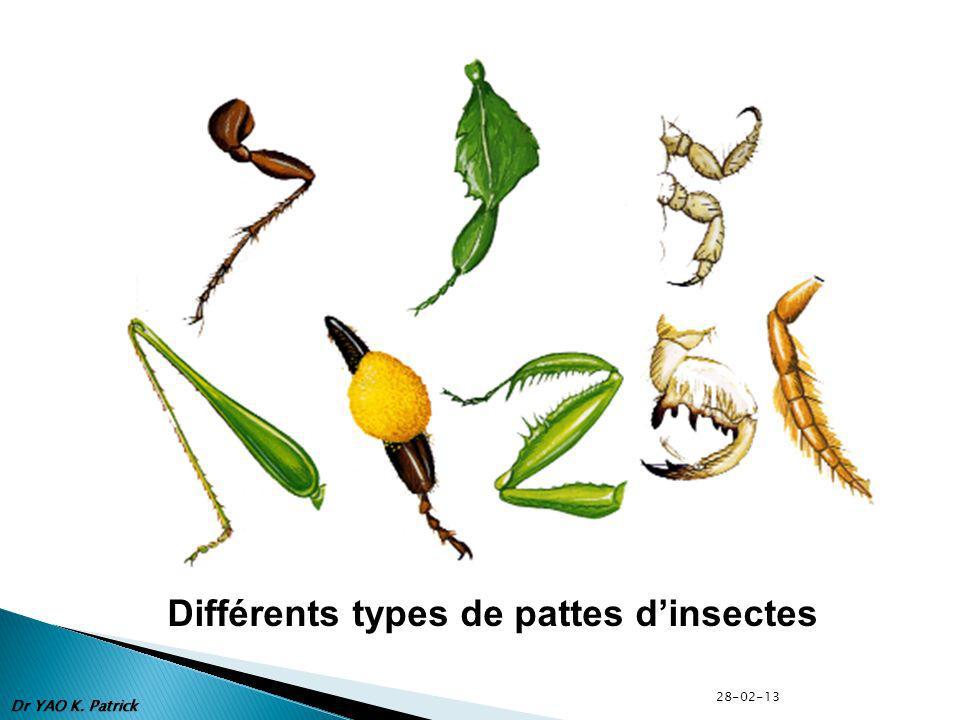 Différents types de pattes dinsectes Dr YAO K. Patrick 28-02-13
