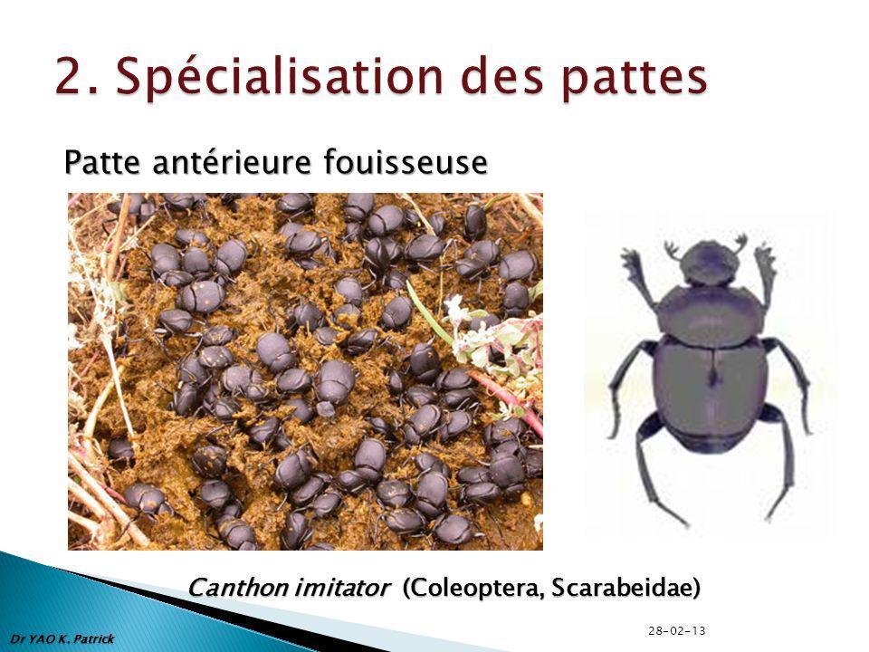 Patte antérieure fouisseuse Canthon imitator (Coleoptera, Scarabeidae) Dr YAO K. Patrick 28-02-13