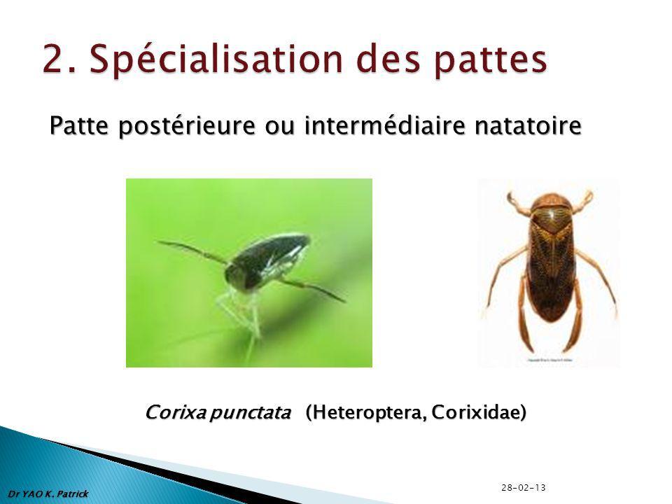 Patte postérieure ou intermédiaire natatoire Corixa punctata (Heteroptera, Corixidae) Dr YAO K.