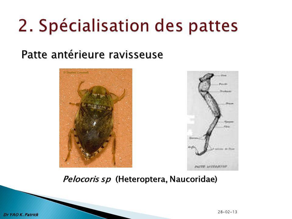 Patte antérieure ravisseuse Pelocoris sp (Heteroptera, Naucoridae) Dr YAO K. Patrick 28-02-13
