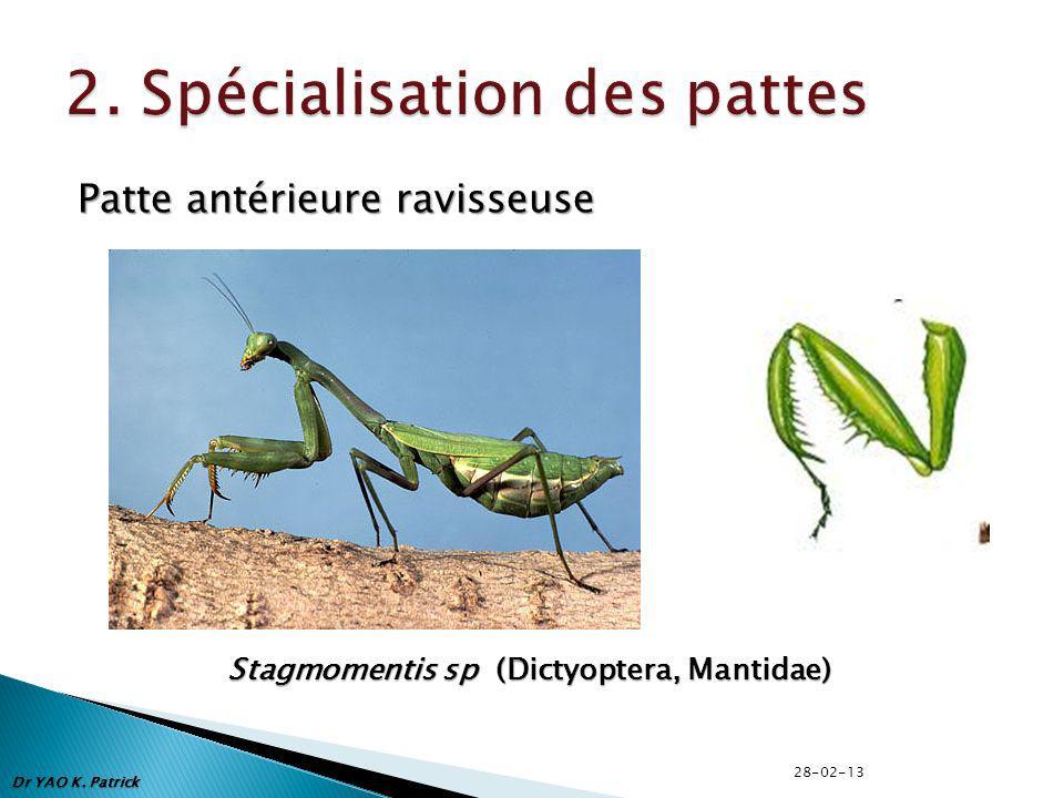 Patte antérieure ravisseuse Stagmomentis sp (Dictyoptera, Mantidae) Dr YAO K. Patrick 28-02-13