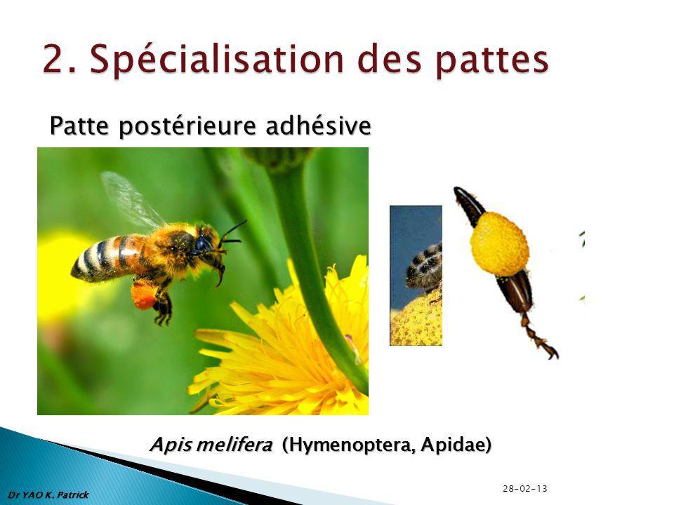 Patte postérieure adhésive Apis melifera (Hymenoptera, Apidae) Dr YAO K. Patrick 28-02-13